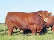Мясное скотоводство крупный рогатый скот из Франции