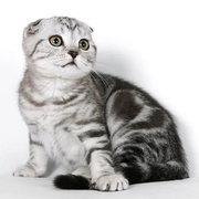 шотландская вислоухая,  британская кошка