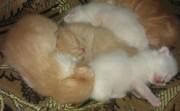 Отдам персидских котят