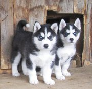 Щенки Хаски,  от 5 нед,  черно-белые и серо-белые (волчий тип)