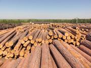 Лес кругляк хвойных пород (сосна, ель),  береза