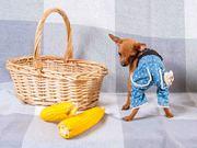 щенок-мальчик породы Русский Той