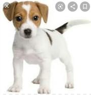 Хочу купить недорого  щенка Джек рассел терьера